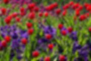 tulips-757144_1920.jpg