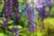 wisteria-2356259_1920.jpg