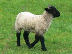 Black Face lamb 1.jpg
