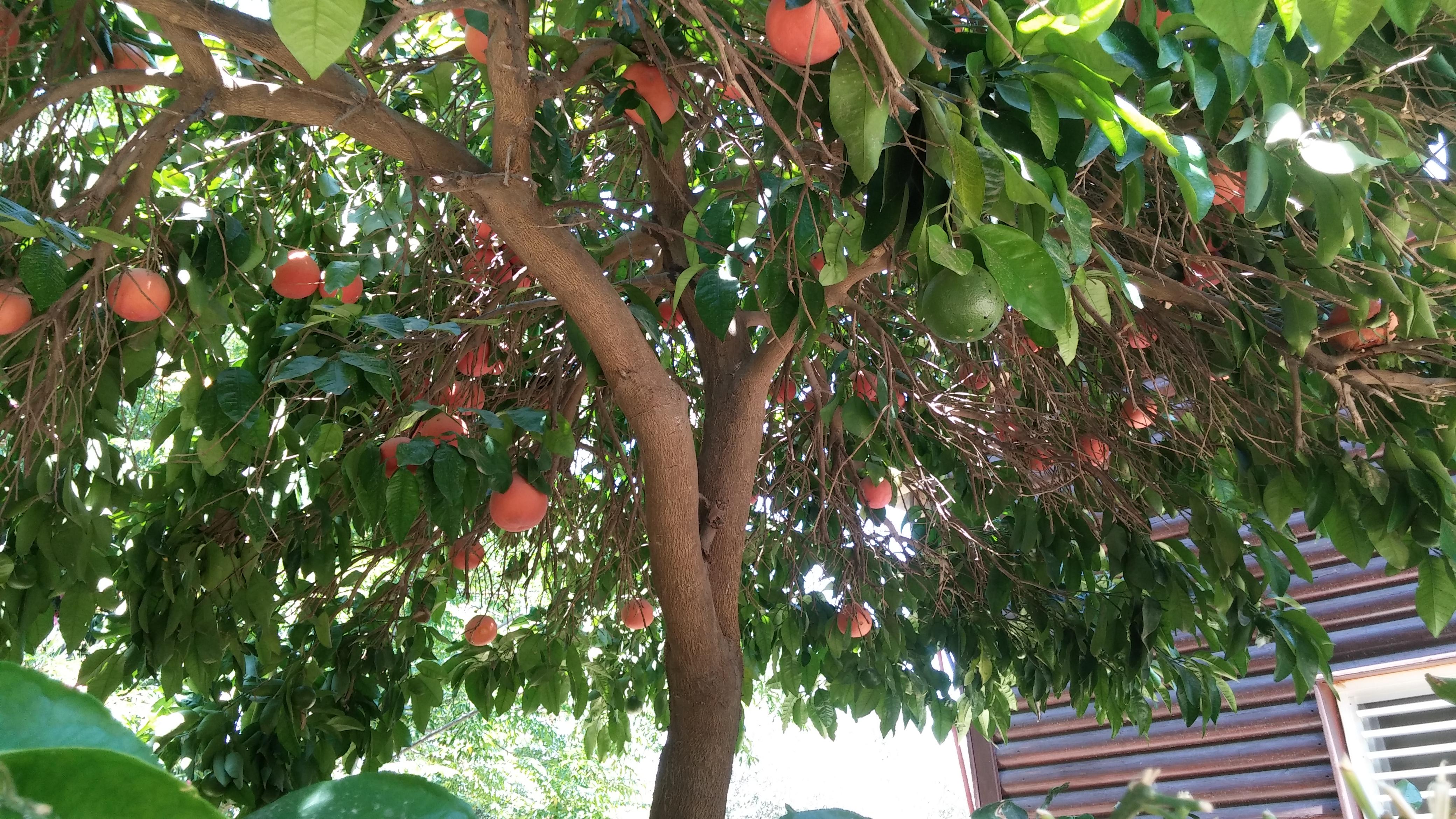 עץ אשכוליות ליד ברקת