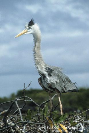 Great Blue Heron off Punta Moreno, Galapagos Islands