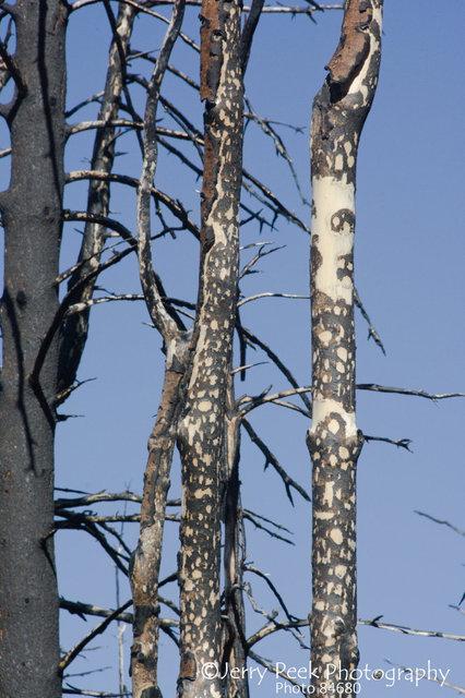 Burned trees on Eagle Peak, Gila Natl. Forest, NM