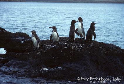 Galapagos penguins, Sullivan Bay, Bartolome Island, Galapagos