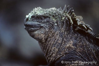 Marine Iguana on Isabela Island, Galapagos