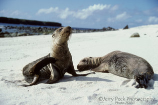 Sea Lions on Mosquera Island, Galapagos