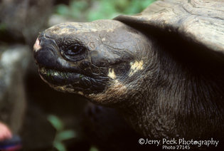 Geochelorie elephantopus tortoise at Darwin Institute, Galapagos