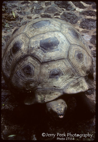 Oldest Tortoise in captivity (1983) at Darwin Institute, Academy Bay, Galapagos