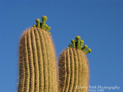 Budding saguaro cactus near Anklam Road, Tucson, AZ