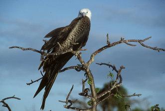 Juvenile frigate bird, Seymour Island, Galapagos