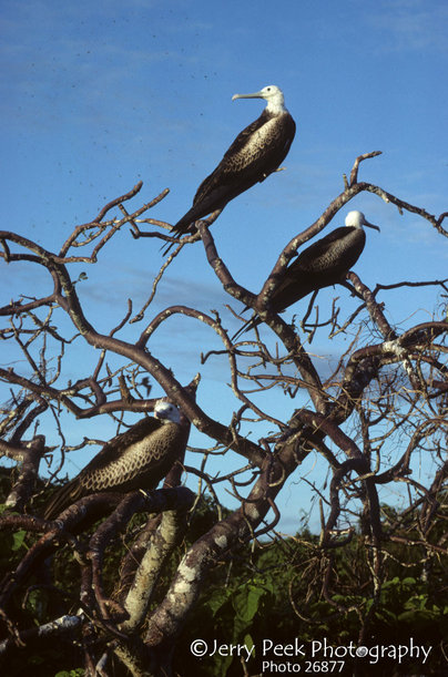 Juvenile frigate birds, Seymour Island, Galapagos