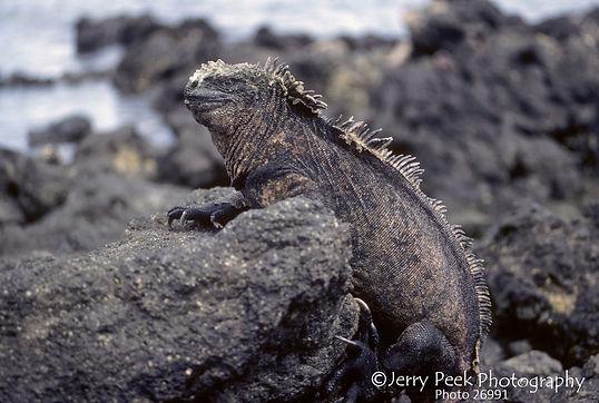Marine Iguana, Urvina Bay, Isabela Island, Galapagos