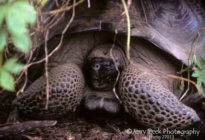 Land tortoise on Isabela Island, Galapagos