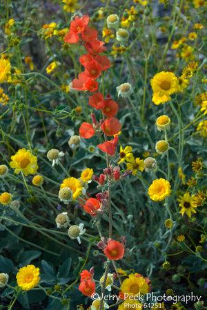 Spring wildflowers west of Superior, AZ