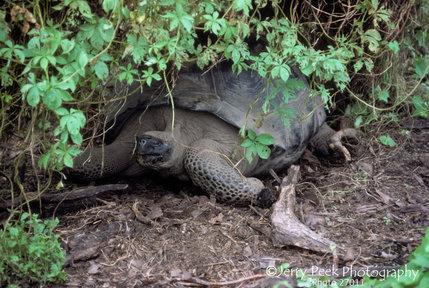 Where land tortoises often are - Isabela Island, Galapagos