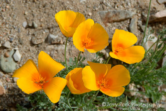 California Poppies in Kings Canyon (west of Tucson)