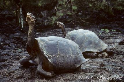 Giant tortoises at Darwin Institute, Galapagos