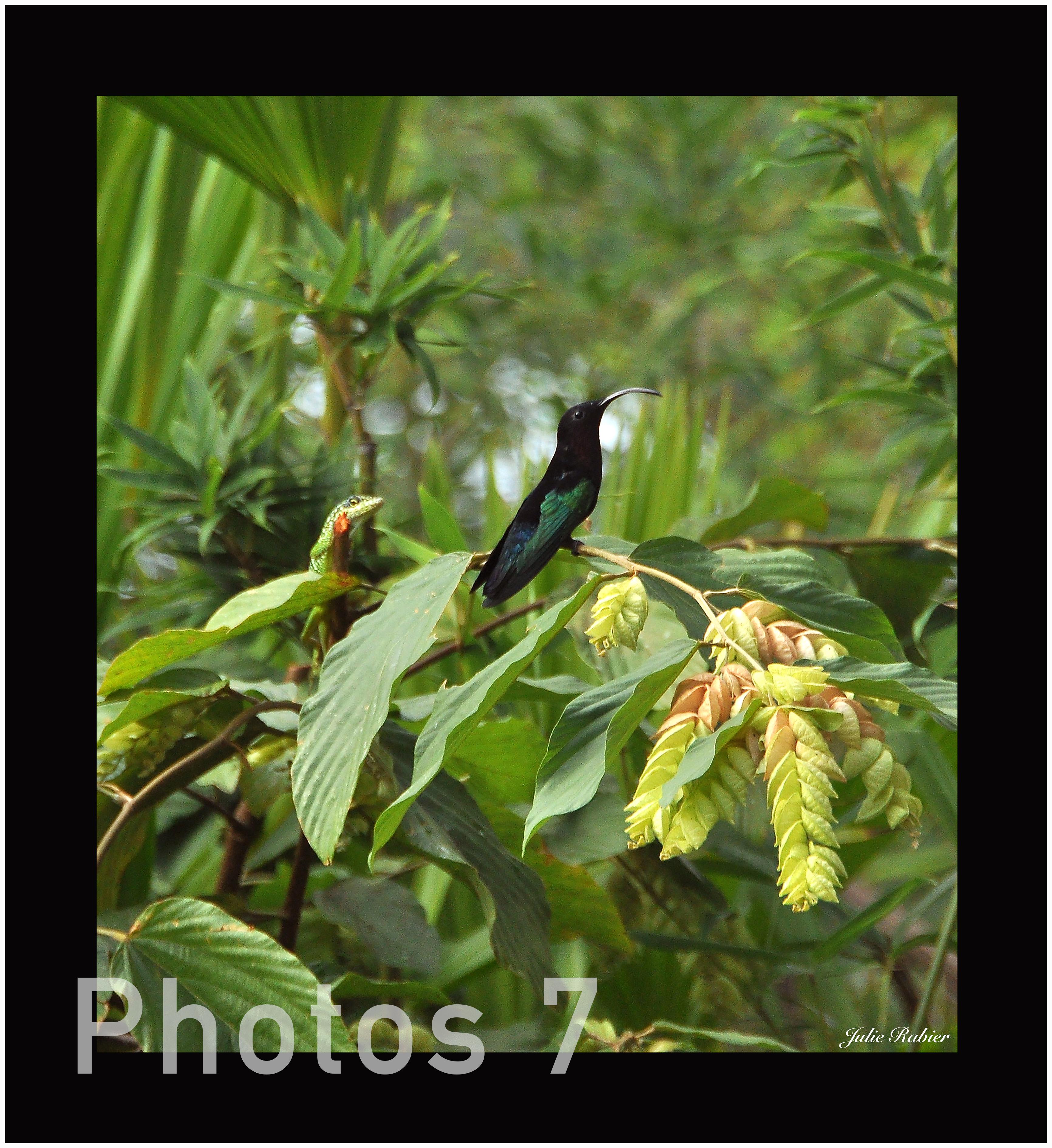 7-colibri