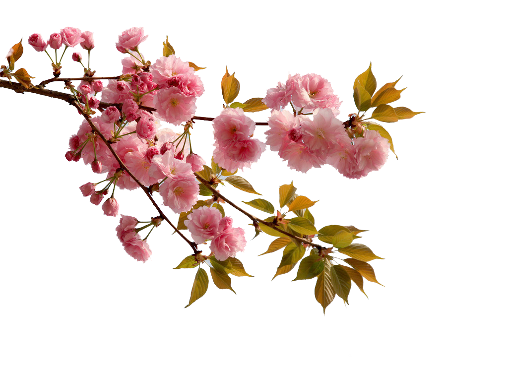kisspng-china-cherry-blossom-flower-peac