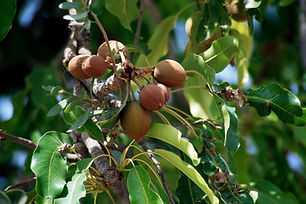 butyrospermum-parkii-shea-tree_press-cop