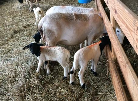Raising Sheep - the beginning!