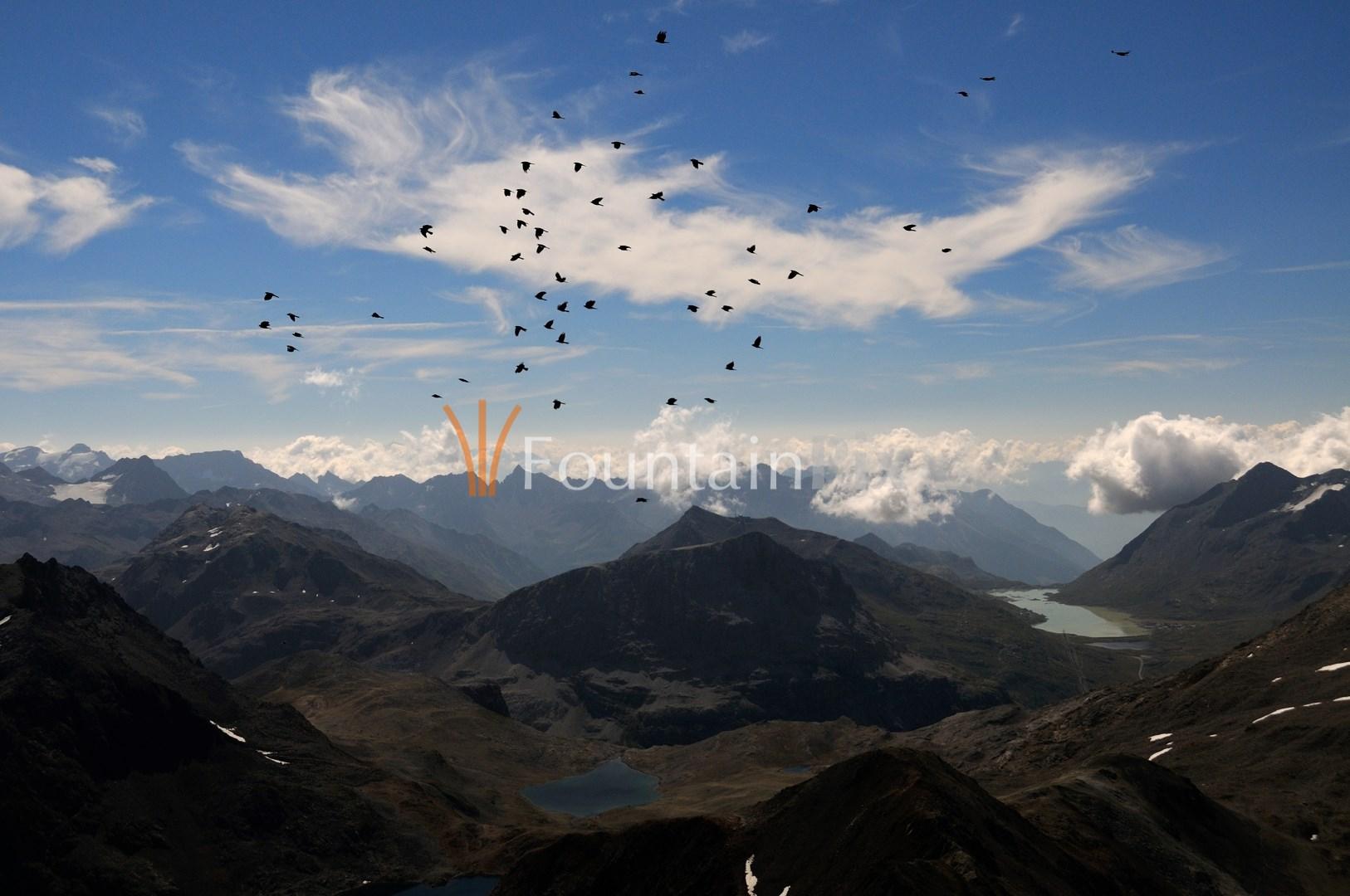 Alpendohlen vor Berninapass