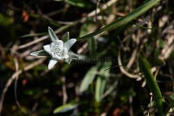 16 Edelweiss