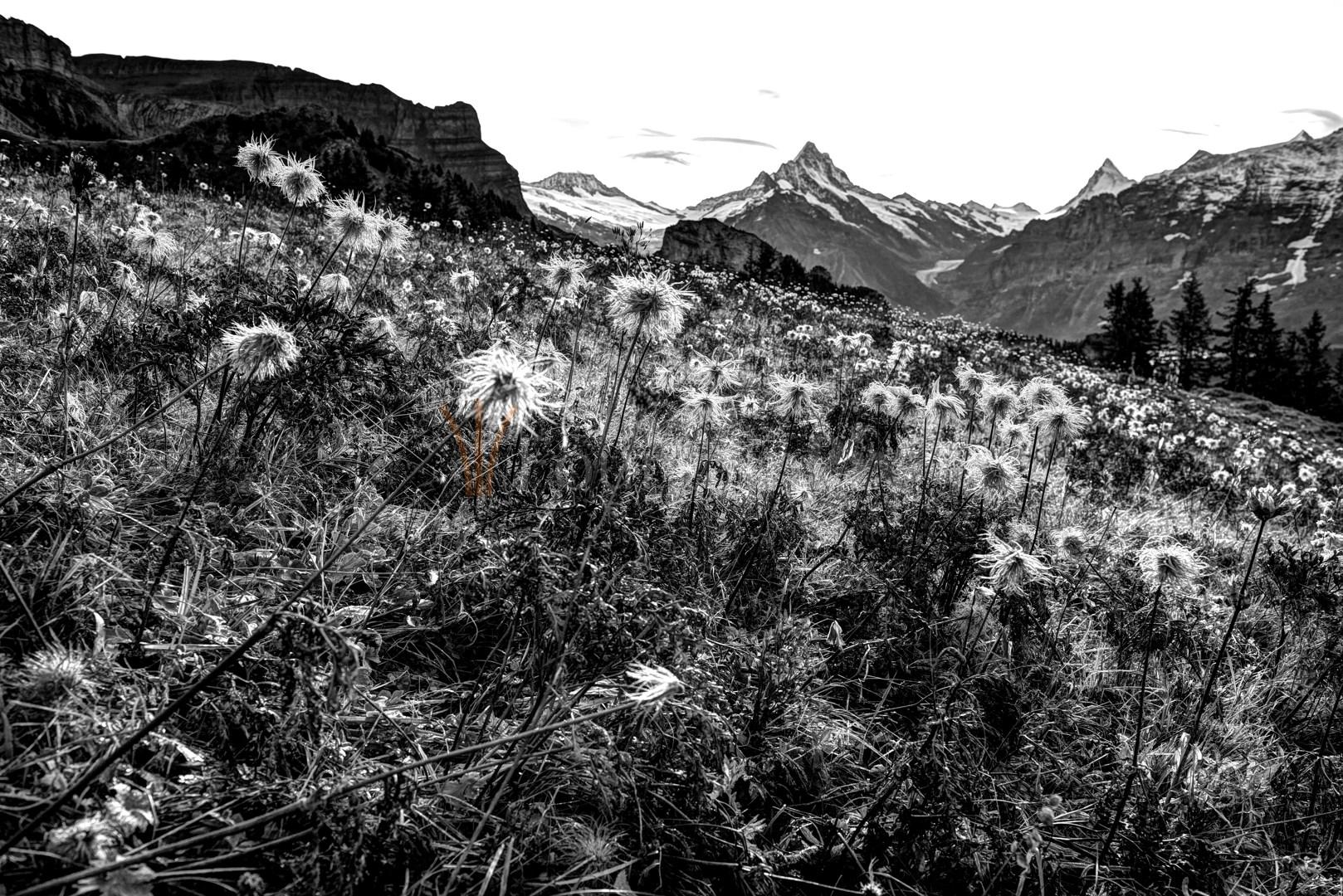Alpwiese vor Schreckhorn