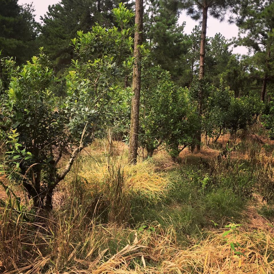 Pine canopy, yerba mate understory