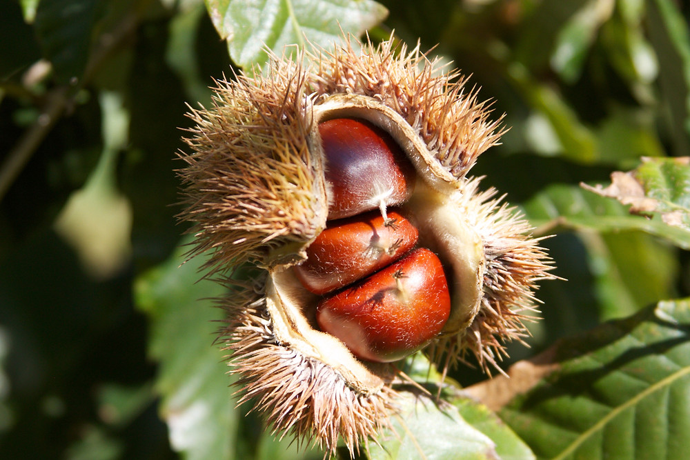 This is what a chestnut burr looks like. You can reach inside with your fingers to pull the nut out, whack them with a stick, or wait until they fall to the ground.
