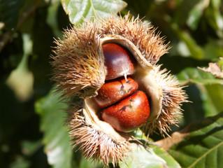 Chestnuts at Red Fern Farm: The Next Regenerative Food Crop