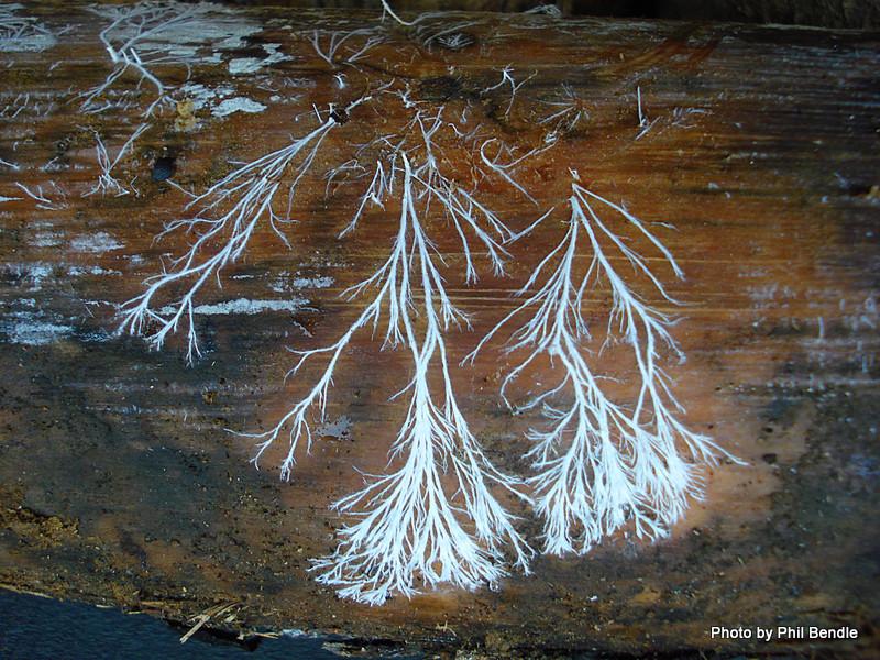 Mycelium, colonizing wood.