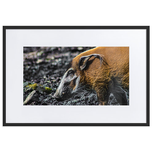 LIMITED EDITION Like A Pig In... - Unique Photography Print - Wildlife - Safari