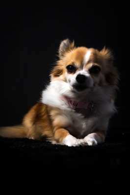 Studio Portrait of Chihuahua Dog