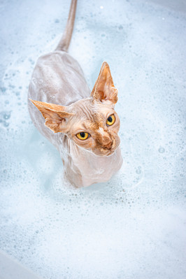 Sphynx Cat Bath Portrait