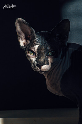 Dramatic Portrait of Sphynx Cat