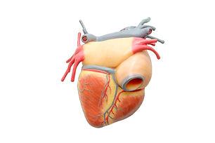 Back of human heart model.jpg