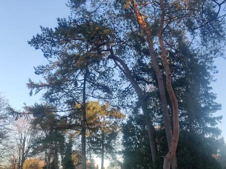 De den is dé boom in Maarn Maarsbergen