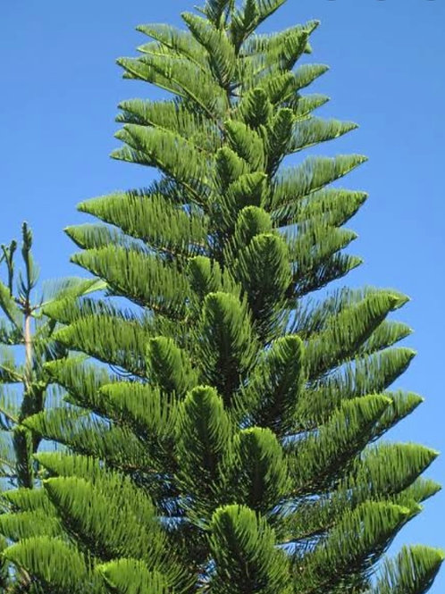 "The America Christmas ""Fresh Pine"""