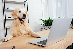 cute labrador dog looking at laptop on w