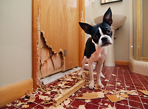 A tiny Boston terrier puppy chews a hole