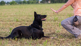 German Shepherd training (Sit command).j