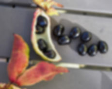 P ludlowii seeds 4.JPG