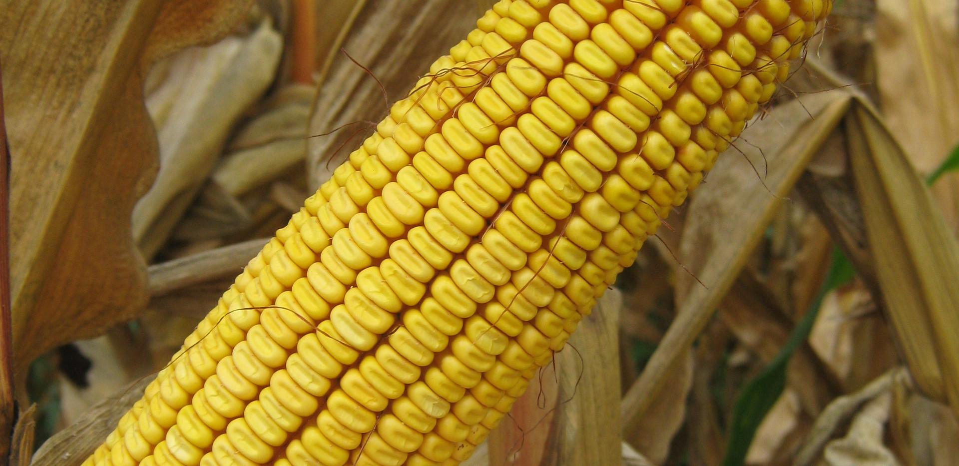 Хибридна царевица OSSK 403