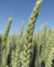 Сорт пшеница Тика Така, властлина на пшеницата