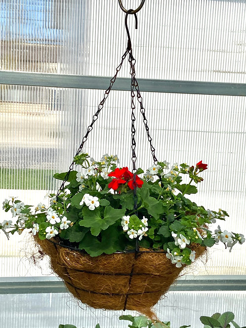 Hanging Basket - Red and White Geranium/Bacopa Cocoa Basket