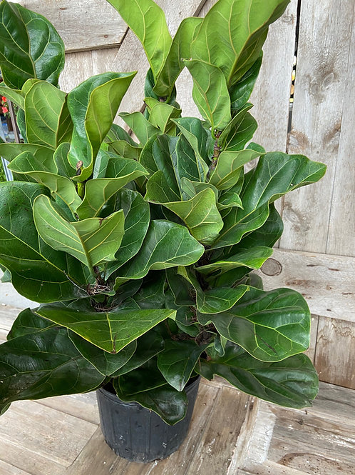 10' Fiddle Leaf Fig