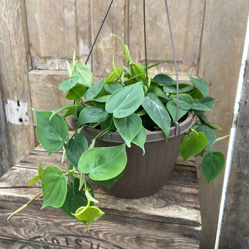 """10"""" Philodendron"""