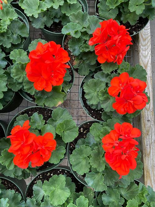 """Geraniums - 6"""" pots"""