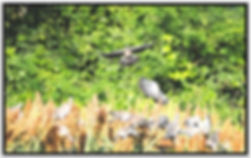 Picazuro-Pigeons.jpg