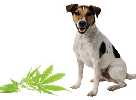 Dog and Cannabis.PNG